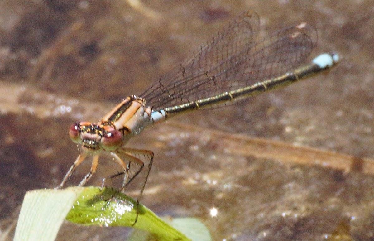 Plains Forktail  (females)