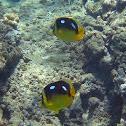 Fourspot Butterflyfish