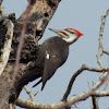 Pileated Woodpecker ♂
