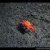 Sally lightfoot crab / Red rock crab / Zayapa