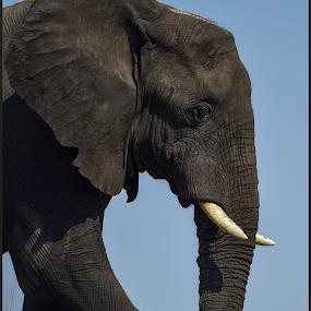 African Giant by Richard Wicht - Animals Other Mammals ( chobe, botswana, elephant, wildlife, africa,  )