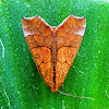 Cotton Looper, Tropical Anomis or White-pupiled Scallop Moth