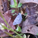 Saepiolus Blue Butterfly