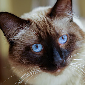 Mr. Murphy by Janice Poole - Animals - Cats Portraits ( ragdoll, cat, blue-eyes, siamese,  )