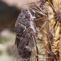 Cactus dodger Cicada