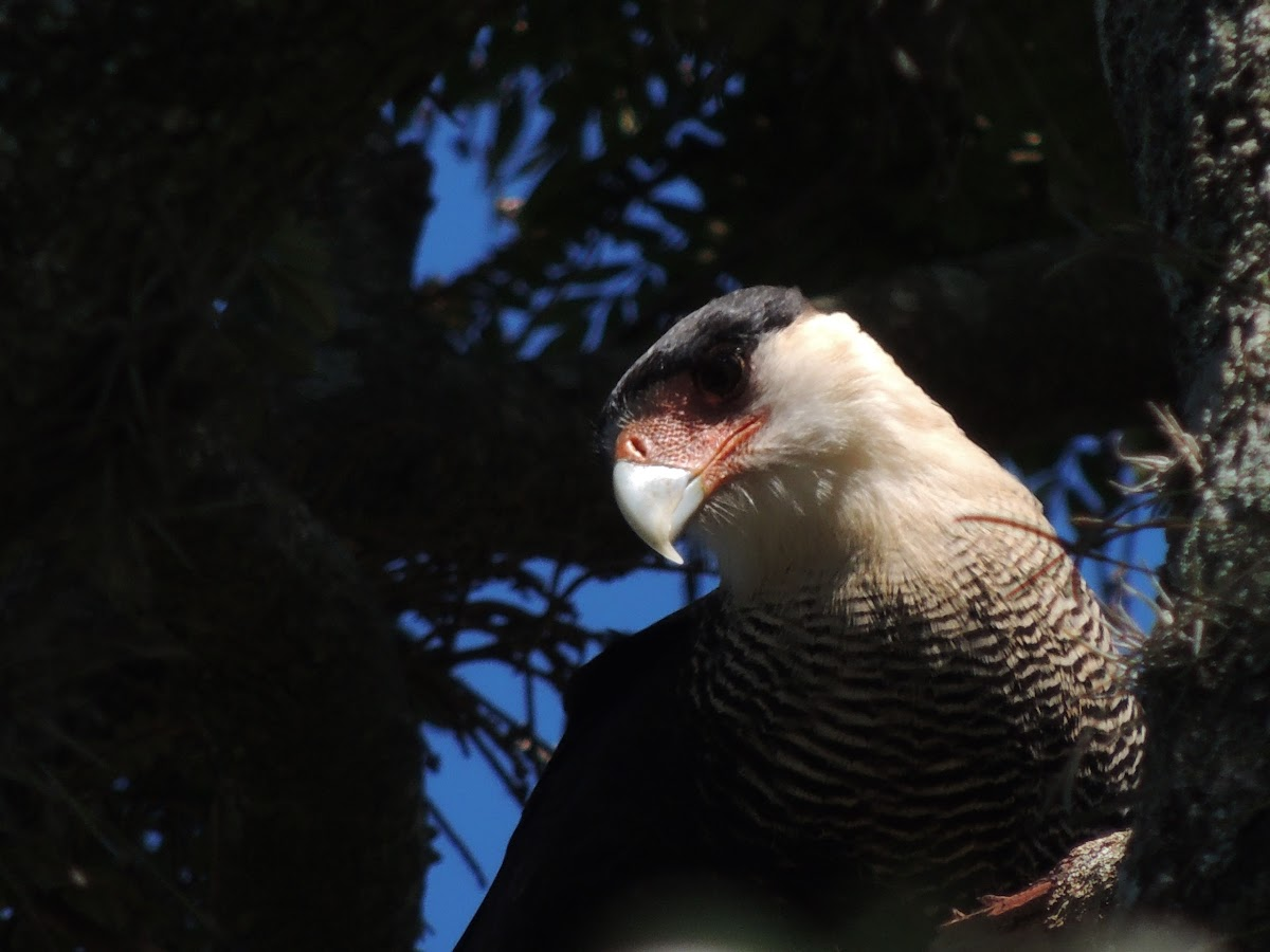 Southern Crested Caracara