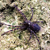 Dock or Fishing Spider