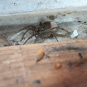 Carolina Wolf Spider with Egg Sac