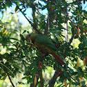 Choroy, Slender-billed Parakeet