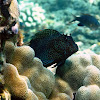 Spotted Coral Blenny