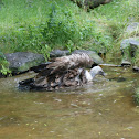 Giffon vulture