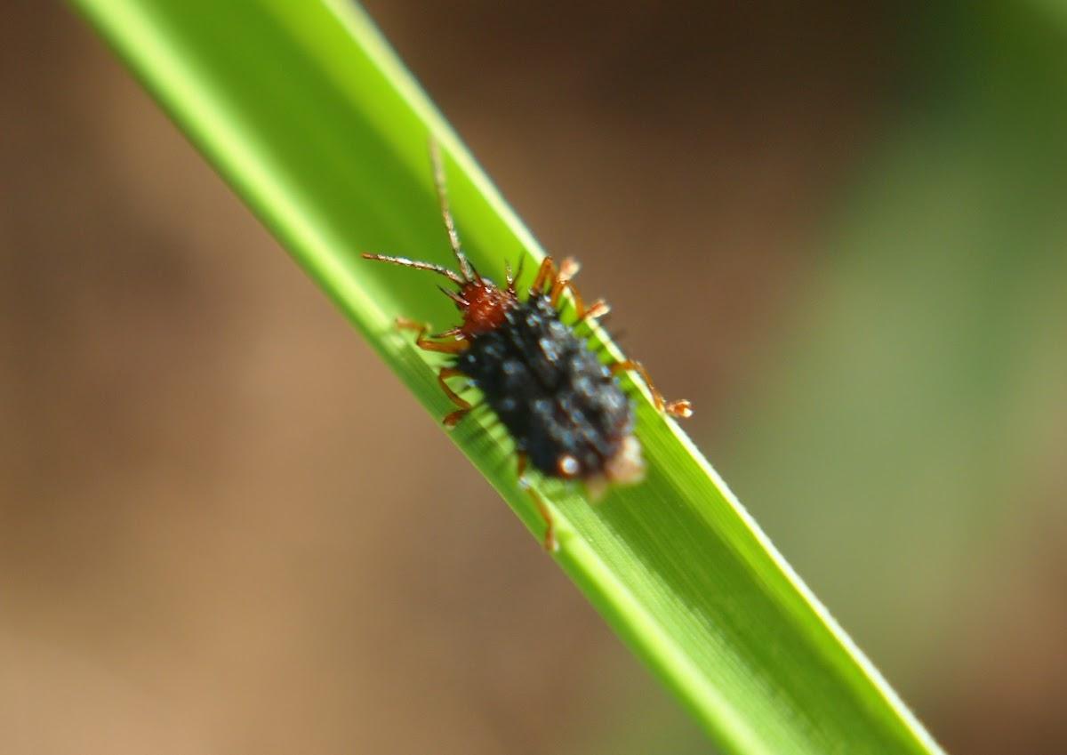 Leaf miner (leaf beetle)