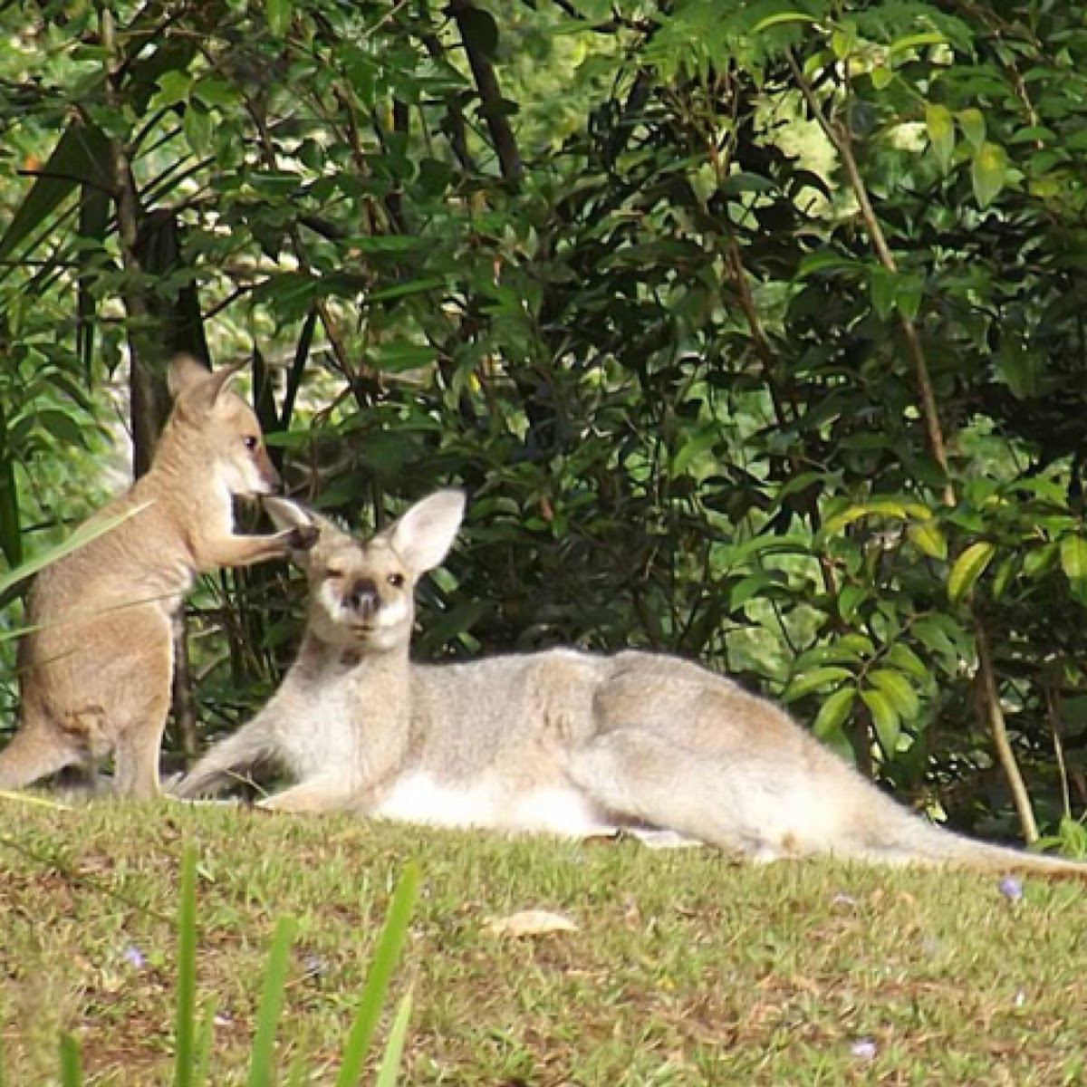 Red Necked Wallaby