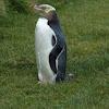 yellow eyed penguin/hoiho