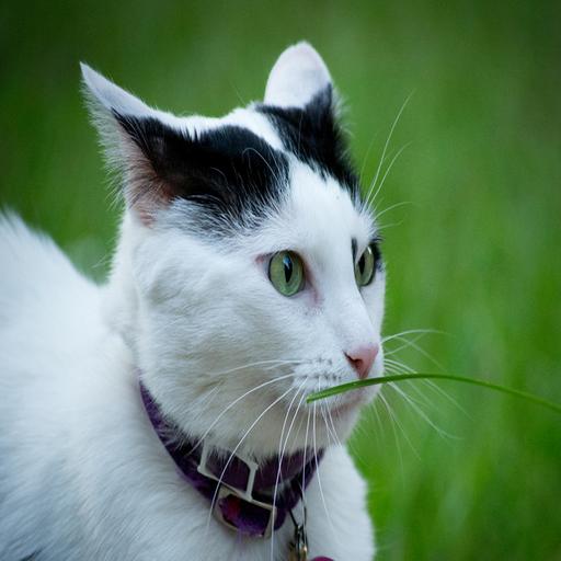 Bunyi Kucing