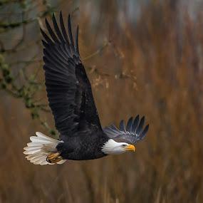 Attack by Gary Davenport - Animals Birds ( ridgefield nwr, flight, eagle, mature, bald, bird, fly )