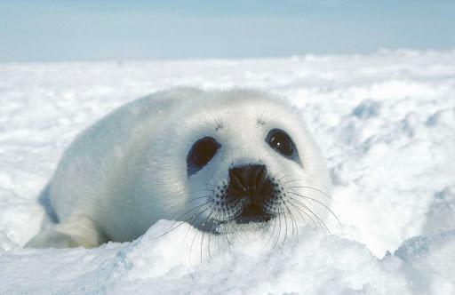 baby-seal-Quebec - A baby seal in Iles-de-la-Madeleine, Quebec, Canada.