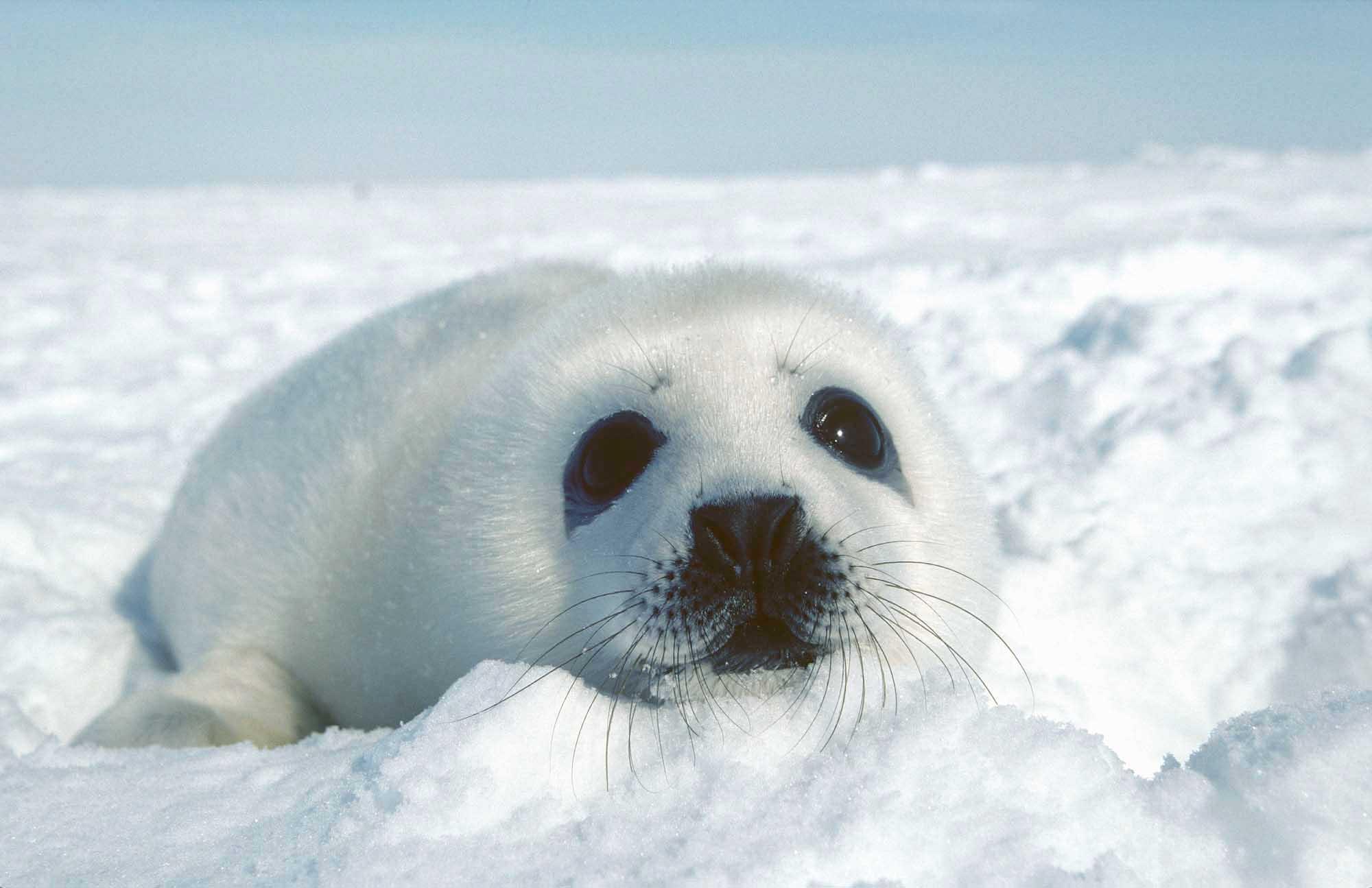 A baby seal in Iles-de-la-Madeleine, Quebec, Canada.