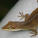 Carolina Anole, female