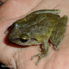 Shrub-frog