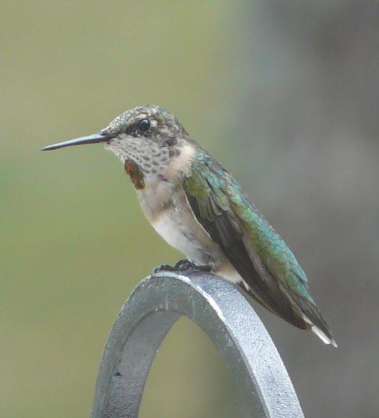 Ruby Throated Hummingbird Juvenile Male Project Noah