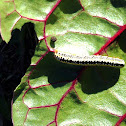 Zebra Caterpillar