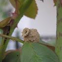 Potter Wasp Nest