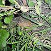 European Common Frog/European Common Brown Frog