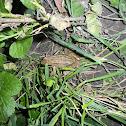 European Common Frog/European Common Brown Frog