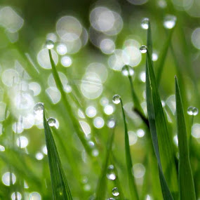 dawn's dew by Cosmin Popa-Gorjanu - Nature Up Close Leaves & Grasses
