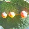 Eucalyptus vein galls