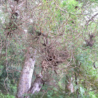 Witches broom Kowhai