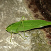 True katydid