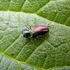 Jewel beetle (female)
