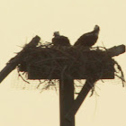 Osprey (pair in nest)