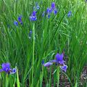 Iris, 붓꽃