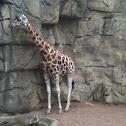 Unknown giraffe
