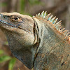 Ctenosaur or Black Iguana