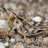 Valley Grasshopper nymph