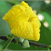 Patola, Loofah, Sponge Gourd