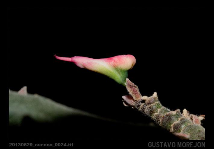 Cactus zapatilla / Devil's backbone or Zigzag plant