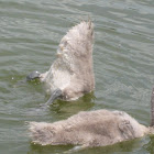 Mute Swan Cygnets part 3