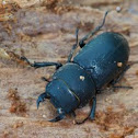 Balkenschröter, lesser stag beetle