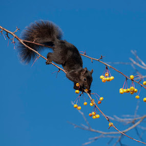 Black Squirrel by Lisa Wessels - Animals Other Mammals ( climb, sky, blue, branch, squirrel, black, meal, berries )