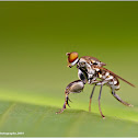Mantis Fly