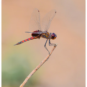 Dragon Fly !! by Prathap Gangireddy - Animals Insects & Spiders ( dragon fly, fly, dragonfly, insects, insect )