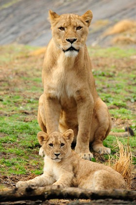[African-lion-cub-picture-1[4].jpg]