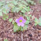 garden pink-sorrel