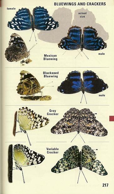 Butterflies New World Avian Review border=