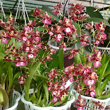 SOBHA ORCHIDS, KERALA, INDIA - Buy Orchids & Anthuriums in India